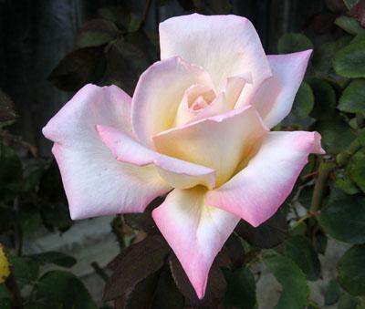 fehér rózsa képeslap